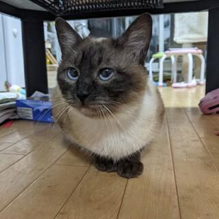 寂しがり屋シャム猫