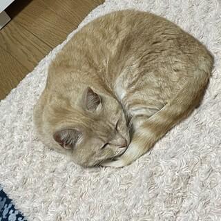 里親募集 マンチカン♀ 生猫
