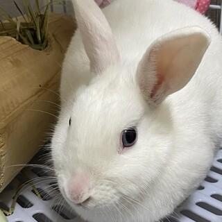 白ウサギの里親募集です