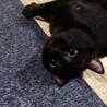 挨拶はかわいいシャー!黒猫きいちゃん  2歳