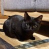 挨拶はかわいいシャー!黒猫きいちゃん  2歳 サムネイル2