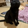 挨拶はかわいいシャー!黒猫きいちゃん  2歳 サムネイル3