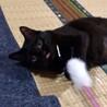 挨拶はかわいいシャー!黒猫きいちゃん  2歳 サムネイル7