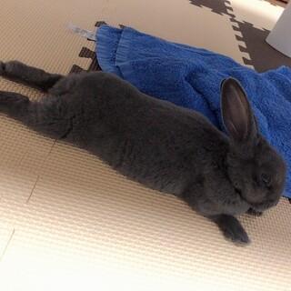 ウサギ(ミニレッキス)の里親を募集します。