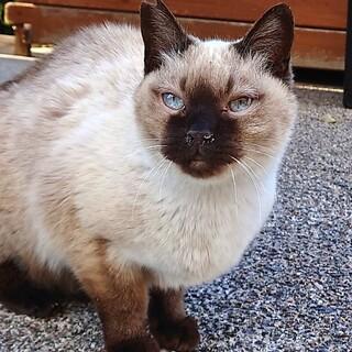 野良猫のシャムちゃんに奇跡を!