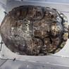 ミシシッピアカミミガメ1~3匹。札幌市近郊の方希望 サムネイル3