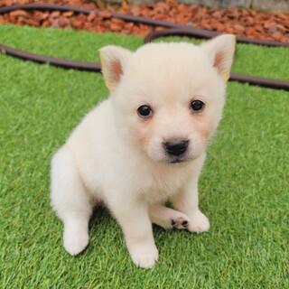 募集停止☆コロコロ可愛い子犬『リップちゃん』☆