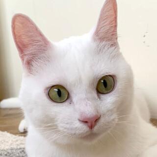 レモン猫の「ハク」