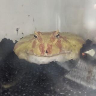 模様が綺麗なカエルです。可愛がってあげてください。