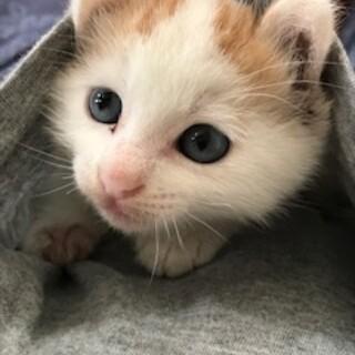 とっても可愛い赤ちゃん猫、白茶白のチビにゃん!