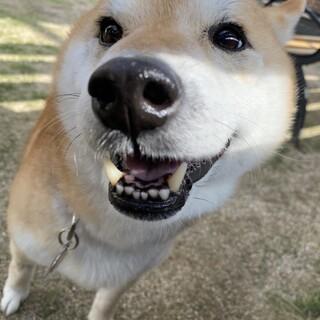 【人が好きな柴犬】ピチュウくん