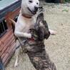 人が大好き、気のいい若犬、元気なマシュ君! サムネイル6