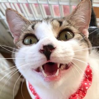 4/4所沢譲渡会参加甘えん坊で大きな仔猫