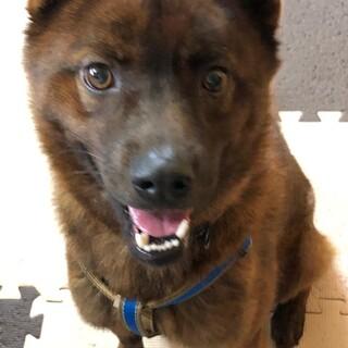 陽気な琉球犬MIX男子ポテオ12.5kg