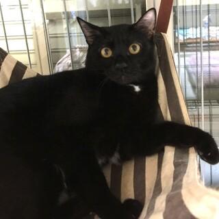黒豹のようなかっこいい黒猫ちゃん