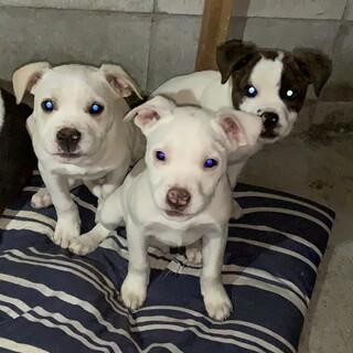 子犬三匹います