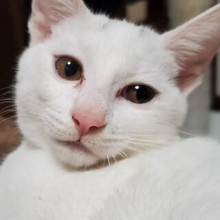 おしゃべり上手♪白猫えねこちゃん