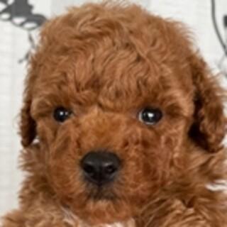 保護犬ナンバーD1492 トイプードル子犬