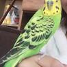セキセイインコ3羽文鳥1羽