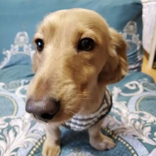 ダックス♂イケメン犬のゆぅくん