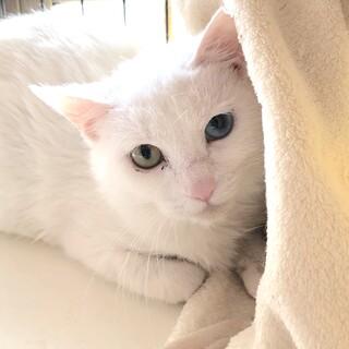 与謝野ちゃん、綺麗な白猫 Odd-eye