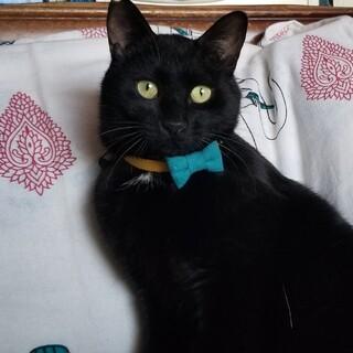 つやつや可愛い黒猫グリム☆仔猫と大人の中間