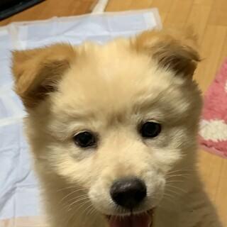 垂れ耳茶色の可愛い仔犬