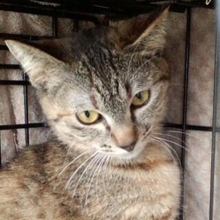 【内定、募集中止】栃木県出身、きれいなキジ猫