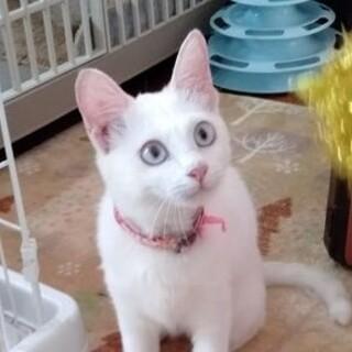 元気なお転婆娘、白猫チャッピーちゃん!