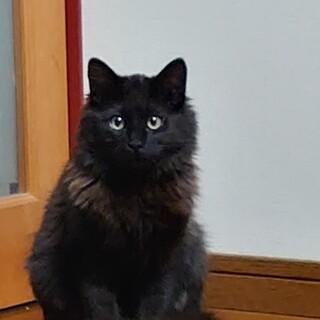 臆病な黒猫少し長毛です