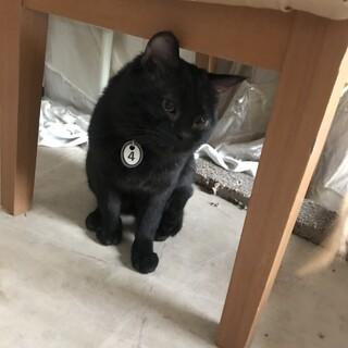黒猫 オス 手術済 しっぽ真っ直ぐです