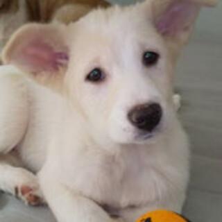 3か月子犬女の子ミルキーちゃん