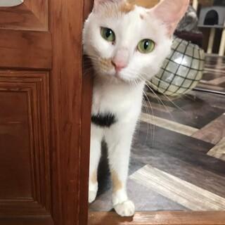 ハート柄がチャームポイント☆三毛猫のなっちゃん!