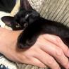 元気で甘えっ子な黒猫の男の子 10カ月