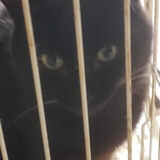 白ヒゲの黒猫男子10ヶ月、穏やかな子です。