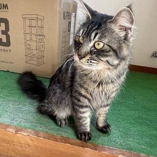 キジトラ長毛7ヶ月の子猫です!