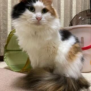 長毛三毛おっとり優しい美猫ももかちゃん