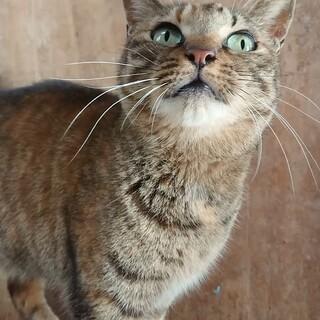 まだお外猫ですが甘えん坊の麦トラ柄♀オススメ☆
