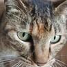 まだお外猫ですが甘えん坊の麦トラ柄♀オススメ☆ サムネイル2