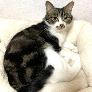 【4/18芝浦】猫大好きマーブル模様のキジ白ちゃん