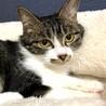 猫大好きマーブル模様のキジ白ちゃん サムネイル3