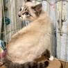 シャム猫風 いつでもマイペースなチャイくん 6ヶ月 サムネイル5