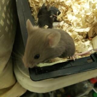 ふわふわ可愛いファンシーマウス