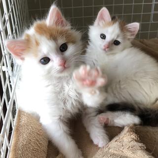 ふわふわ姉妹 2ヶ月くらいの茶白と白三毛