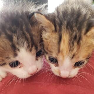 左の子猫♂(生後20日程)