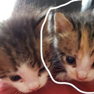 右の子猫♀(生後20日程)