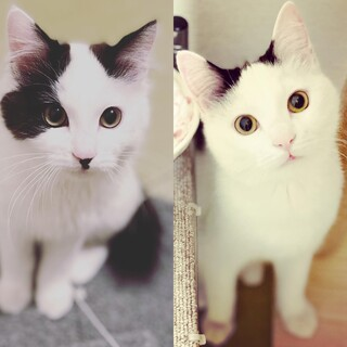 白黒ぶち⭐︎長毛&短毛兄弟