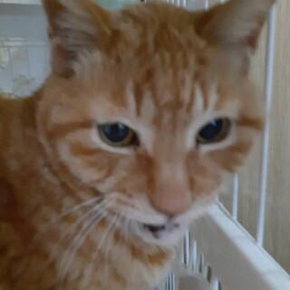 1番人気のおじさま猫♂おっとりした茶トラ