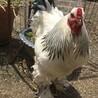 【雄鶏】ライトブラマ 2羽 親里募集