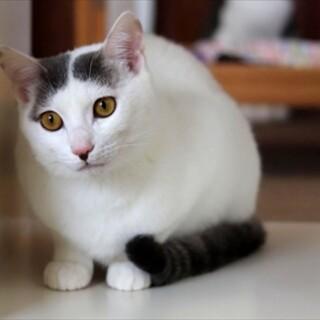 白グレー子猫 ジムニー君 里親様募集♡
